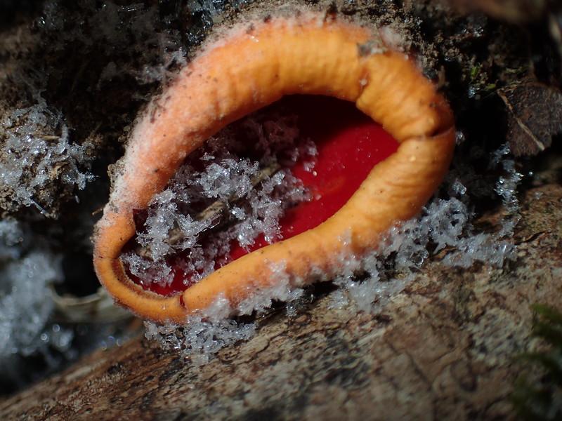 February 16 2015  Fungus cradling snowflakes