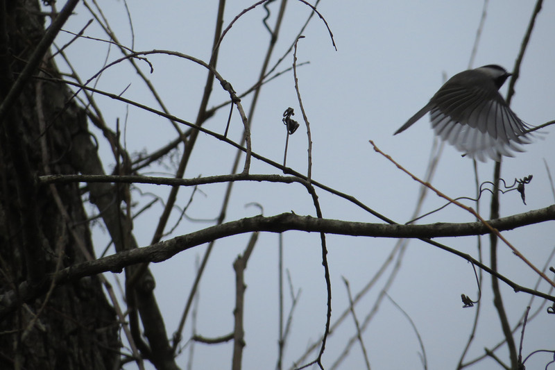 February 4 2014   Chickadee in flight