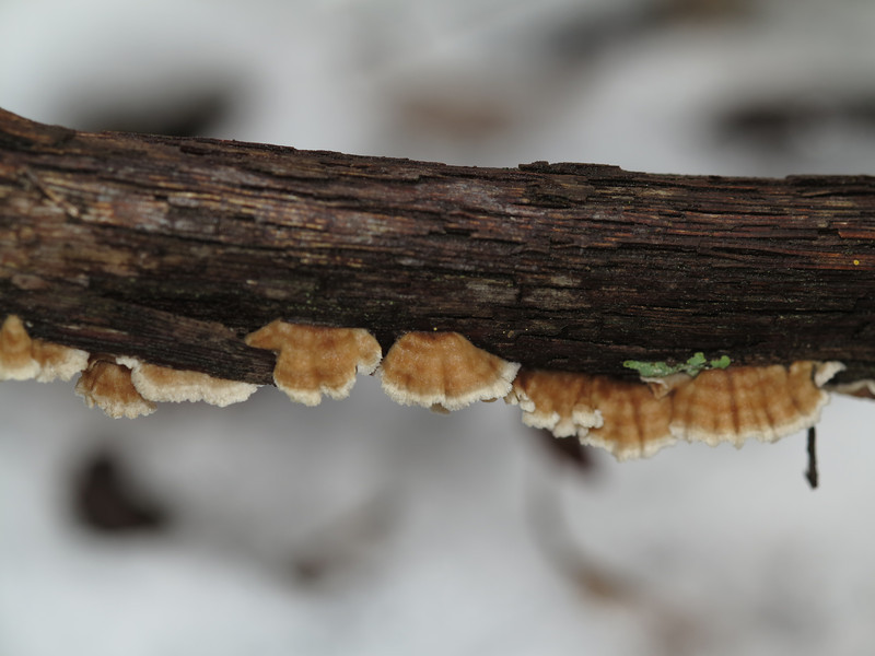 January 21 2013   Fungus in Snow