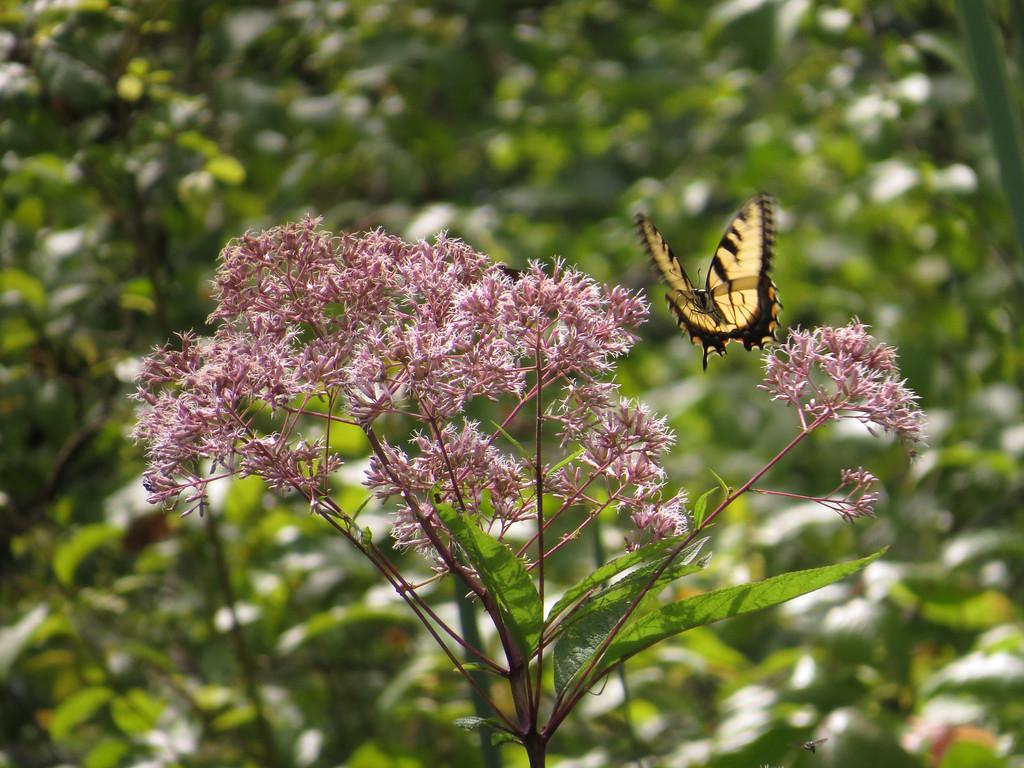 August 16 2013  Tiger Swallowtail in Flight