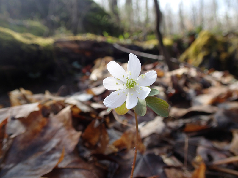 April 3 2014   Rue anemone in mossy woods