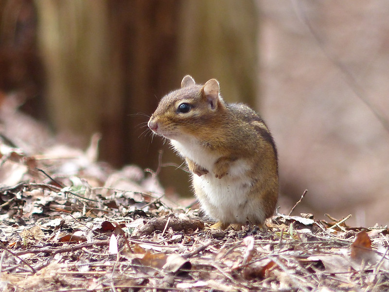 March 30 2013   Chipper Chipmunk