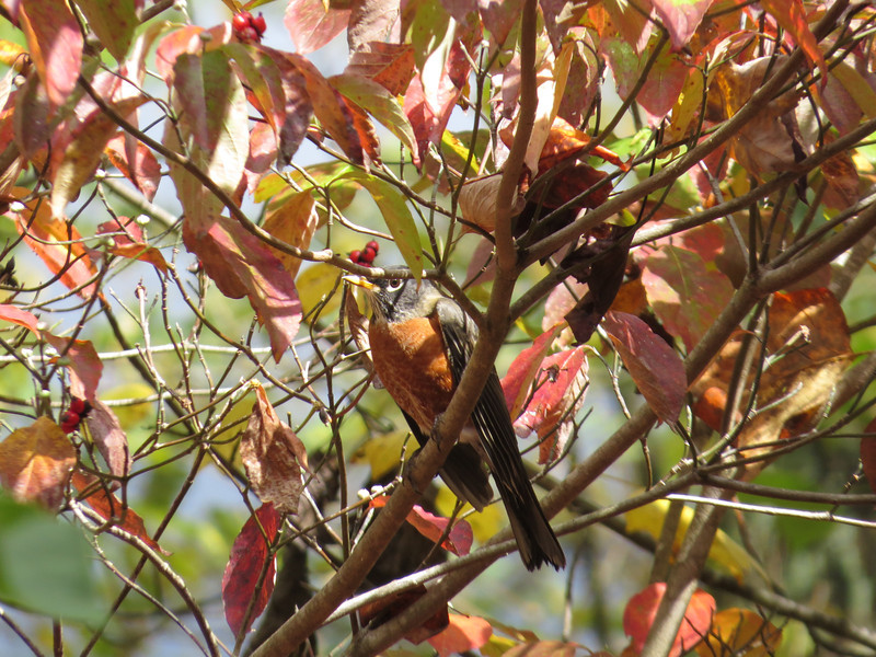 October 7 2013   Autumn robin
