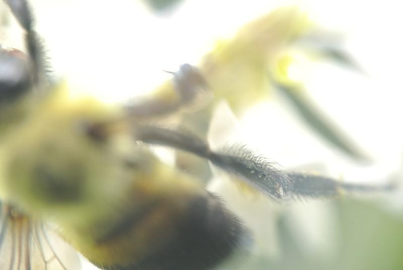June 15 2013   Bumbling Bumblebee