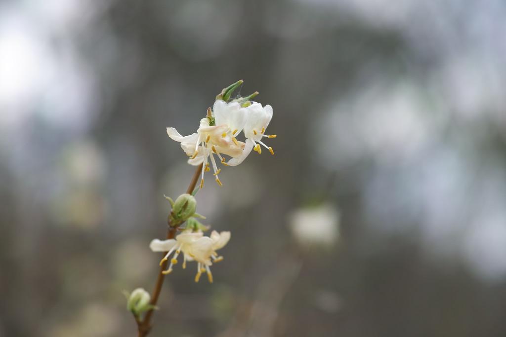 March 17  Lonicera fragrantissima in flower