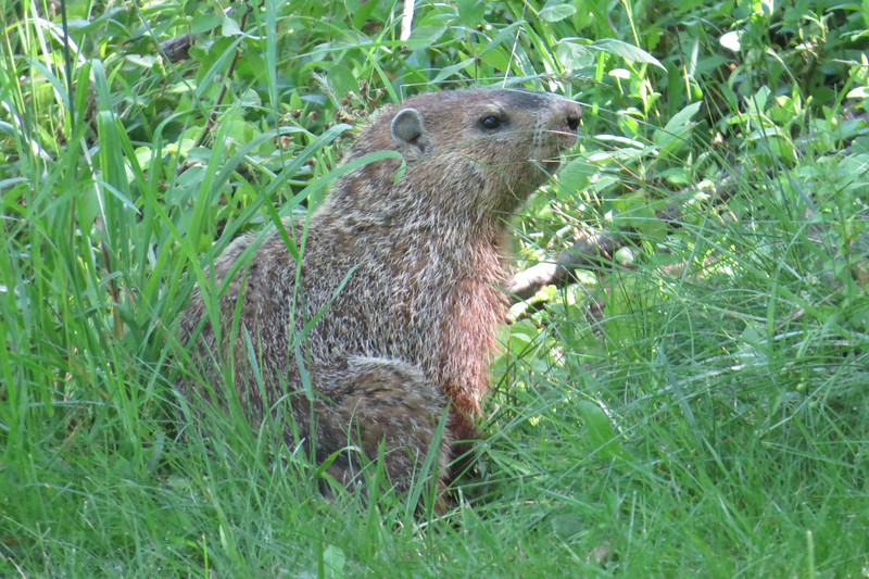June 1 2014   Woodchuck looking for wood