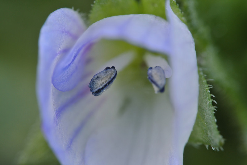 February 26 2013   Speedwell Flower