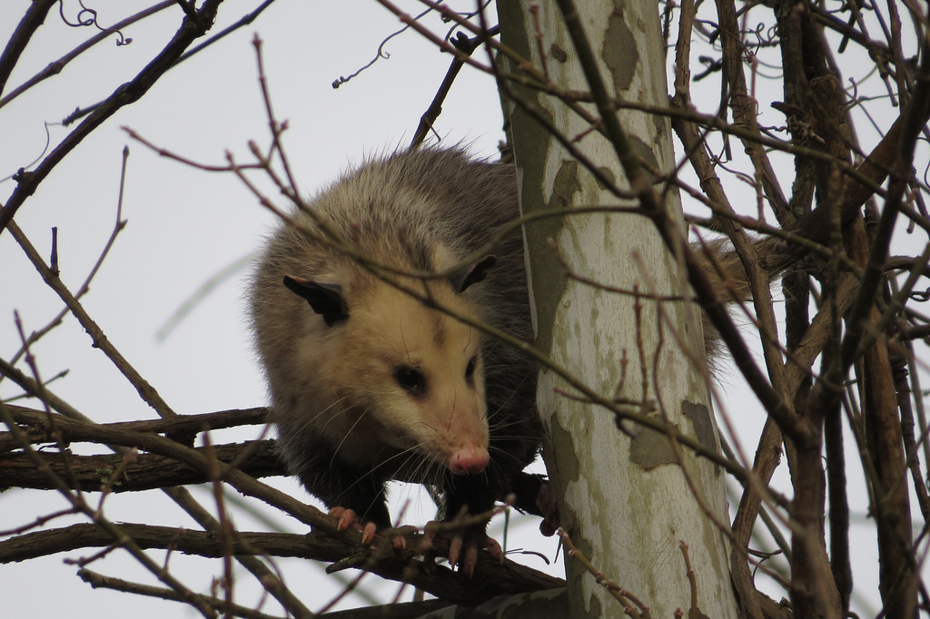 January 10 2014   Opossum in sycamore