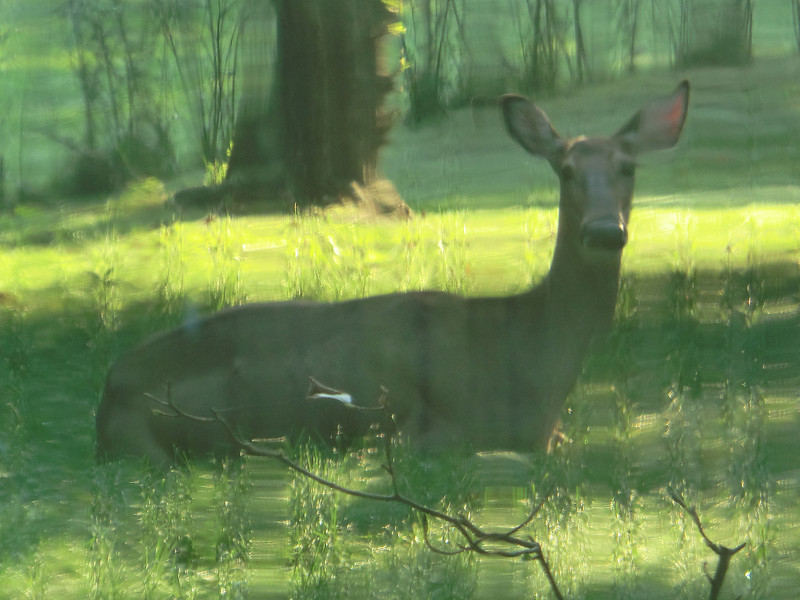September 13 2011  Suburban deer