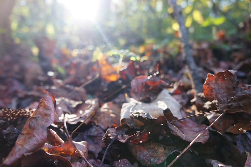 October 13 2012   Sunstruck Leaves