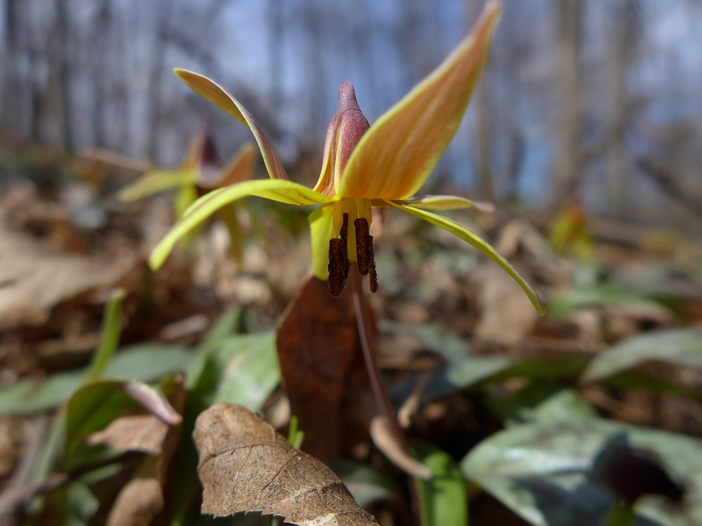 March 22 2013  Trout Lily Rising