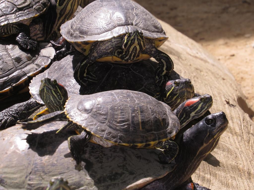 August 3 2013   Pile of Turtles