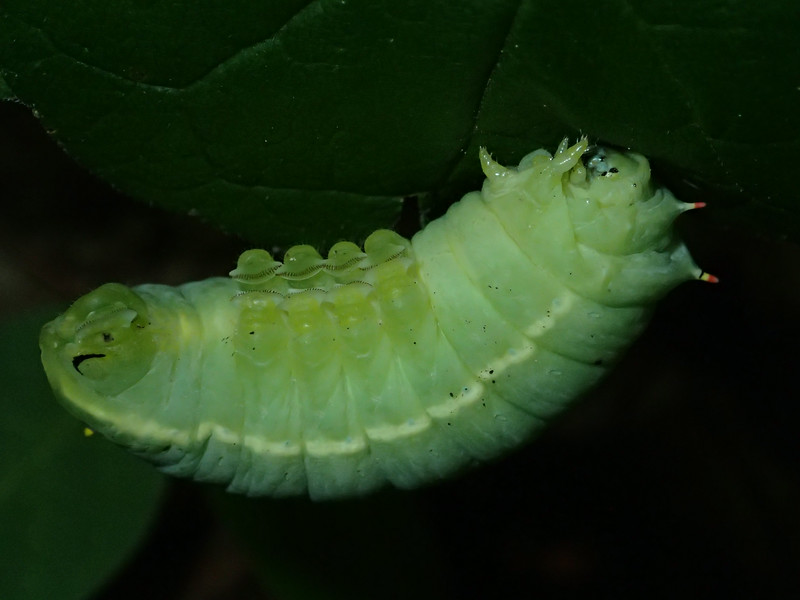 June 28 2014   Pudgy caterpillar