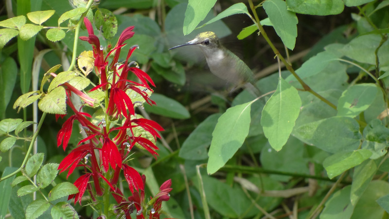 September 1 2011  Hovering hummer