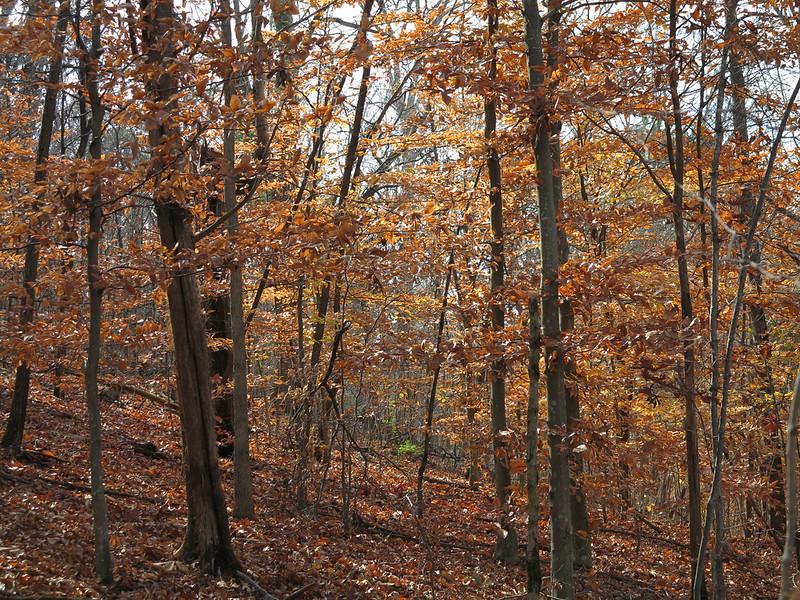 November 8 2012    Autumn Beeches