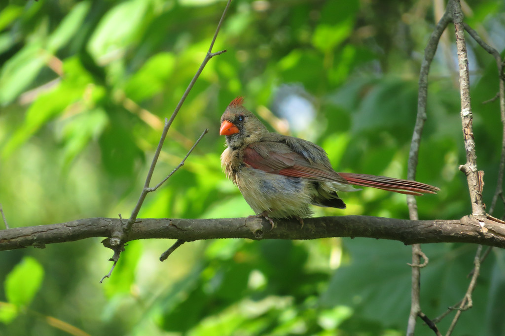 July 30 2014  Young male cardinal sporting a mohawk