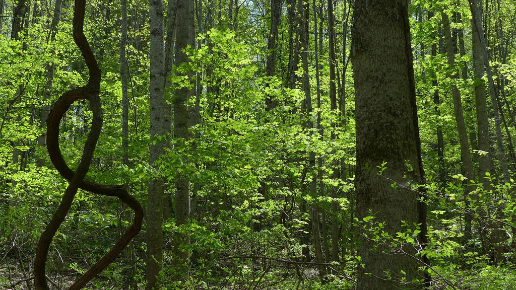 April 23 2013   Vine Traced Leaves
