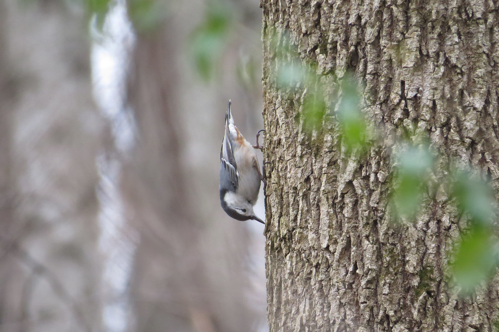 March 2 2014   Upside down nuthatch