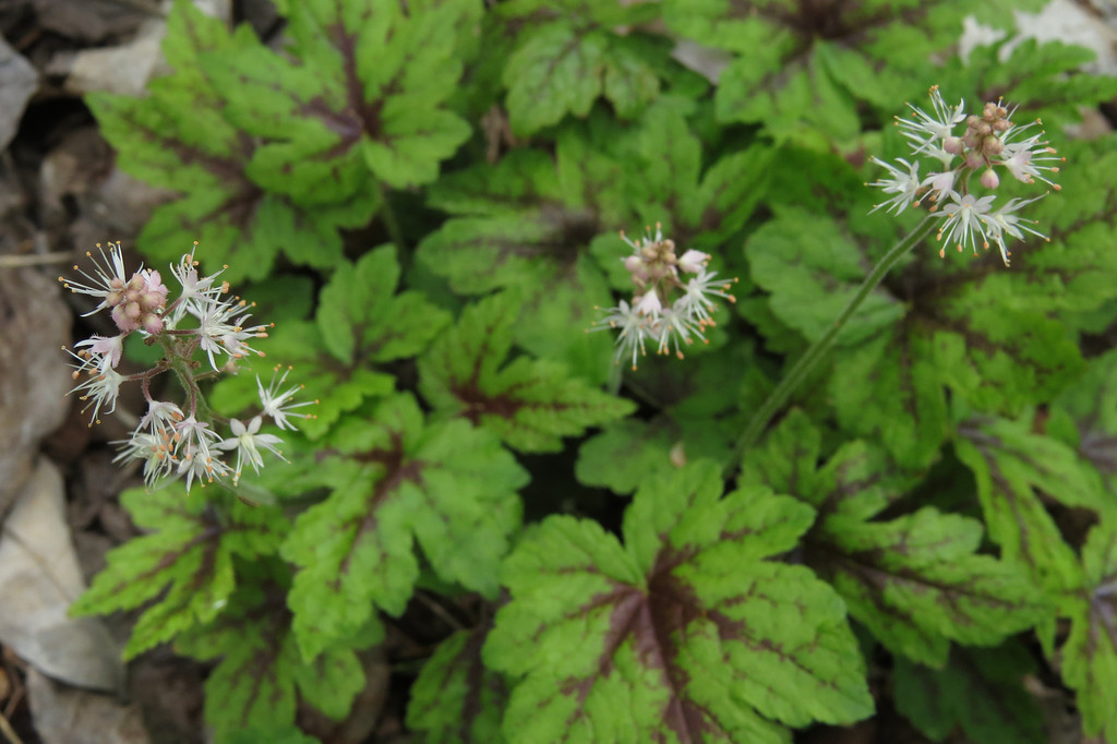 April 30 2014  Foamflower blossoms