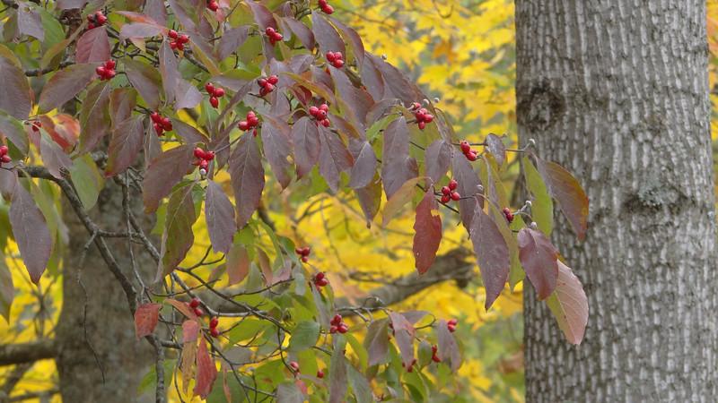 October 10 2011  Dogwood berries