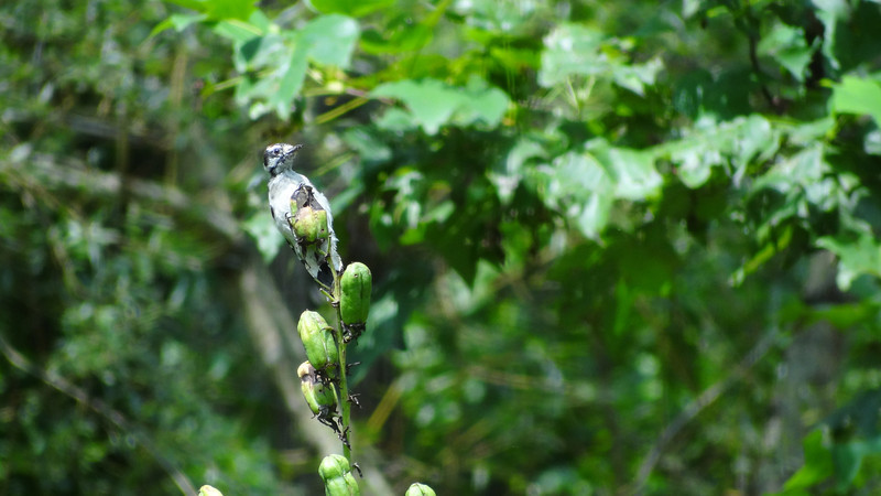 August 4 2011  Woodpecker waits