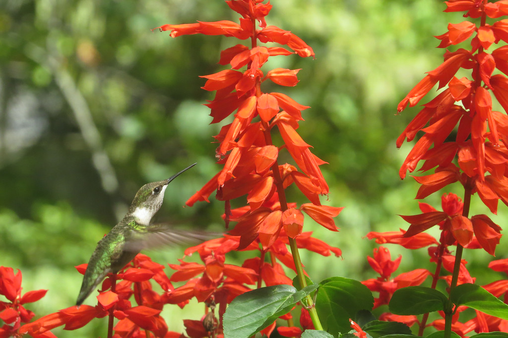 August 26 2014  Ruby-throated hummingbird visiting Salvia flowers
