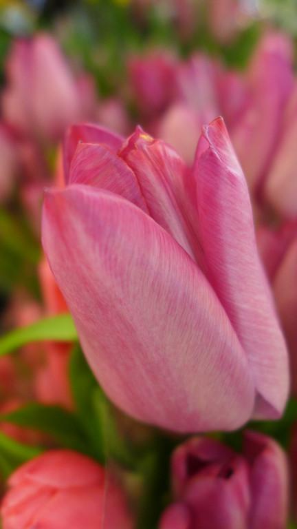 March 24 2013   Tulip Mania