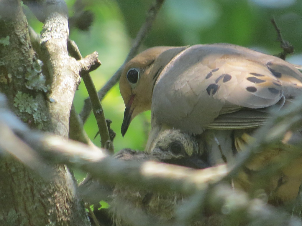 July 17 2013   Happy Mourning Doves