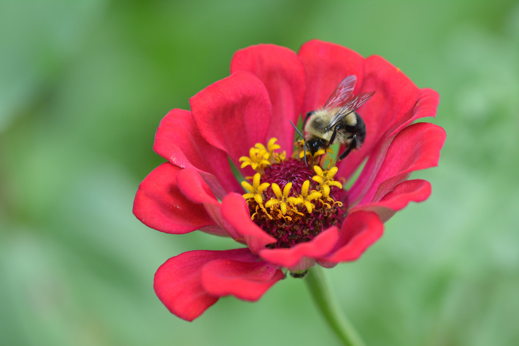 July 20 2013   Zinnia Visitor