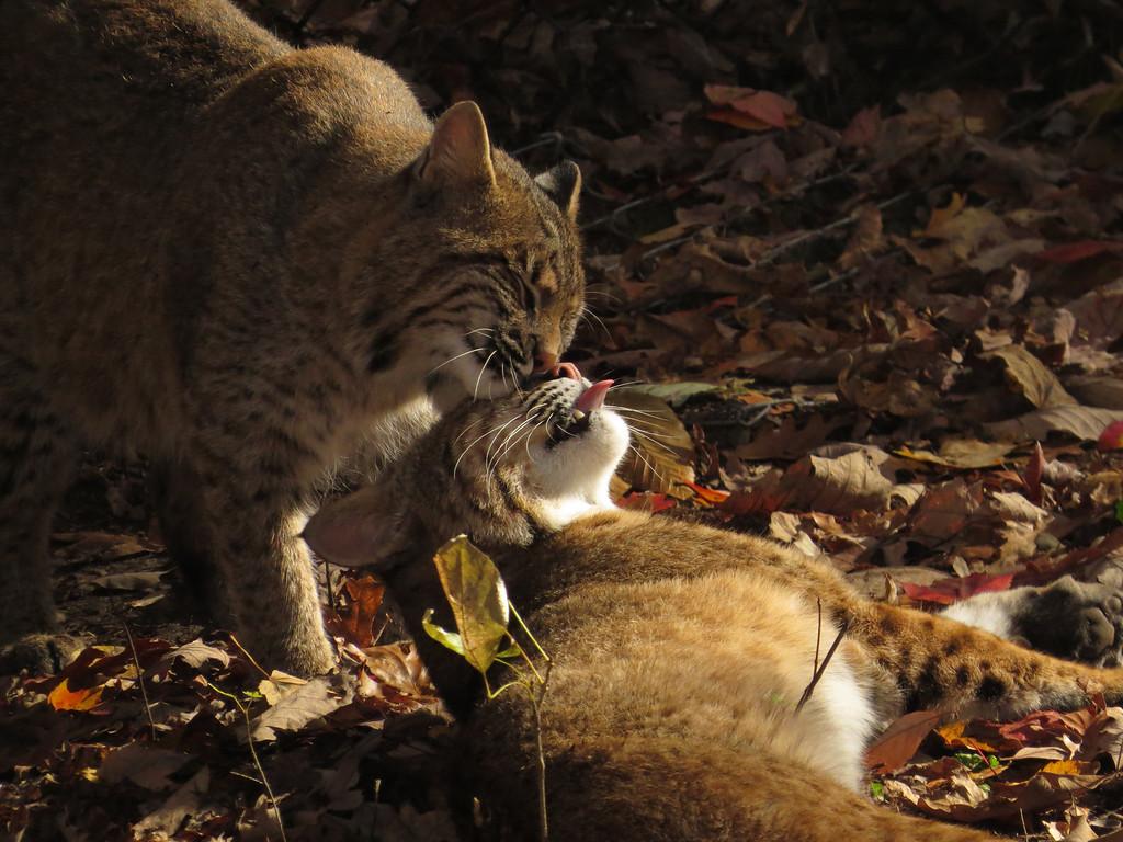 November 2 2013   Bobcat love