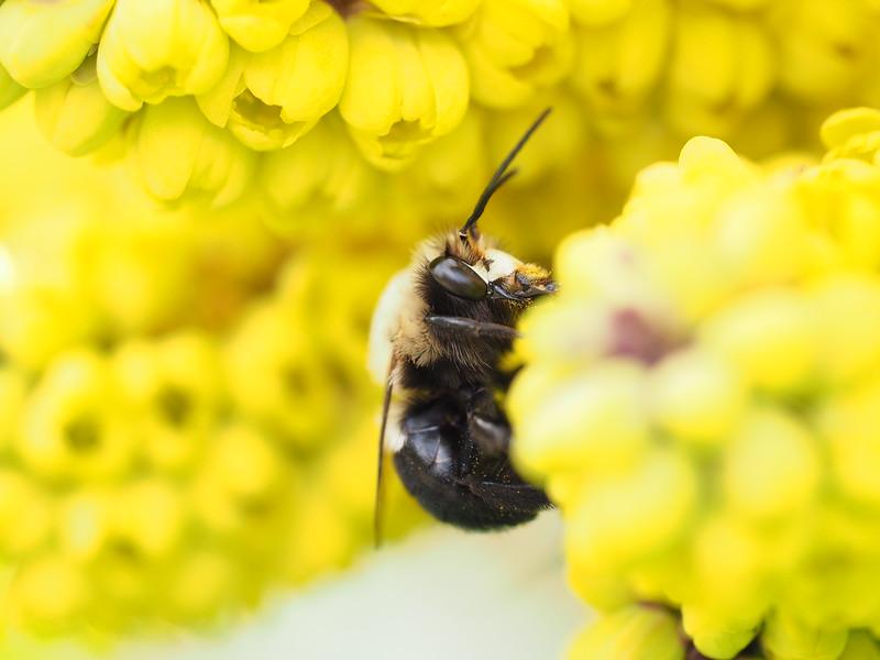 March 24 2015  Bumblebee on Oregon grape