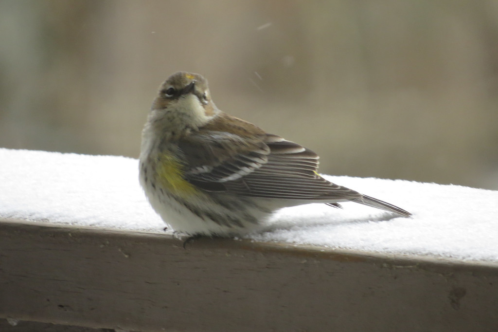 January 6 2014   Warbler in snow