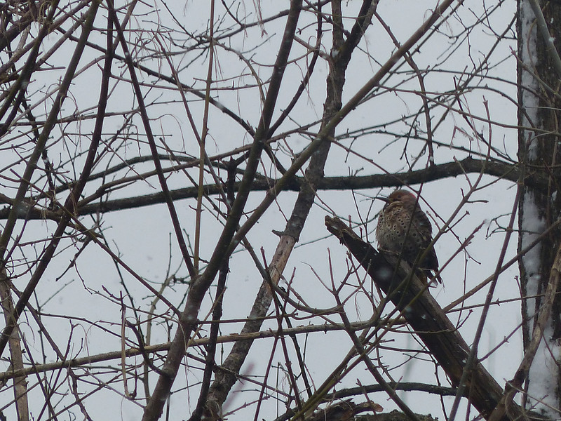 March 26 2013   Flicker Through the Trees