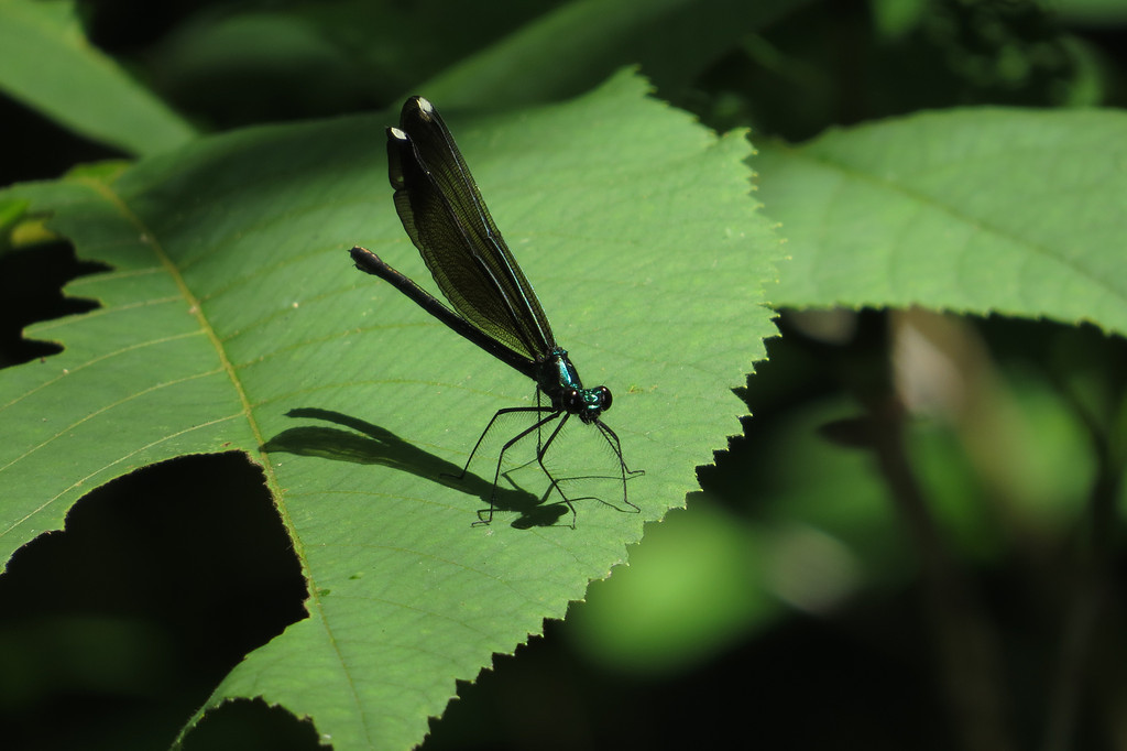 May 29 2014 Damselfly with shadow