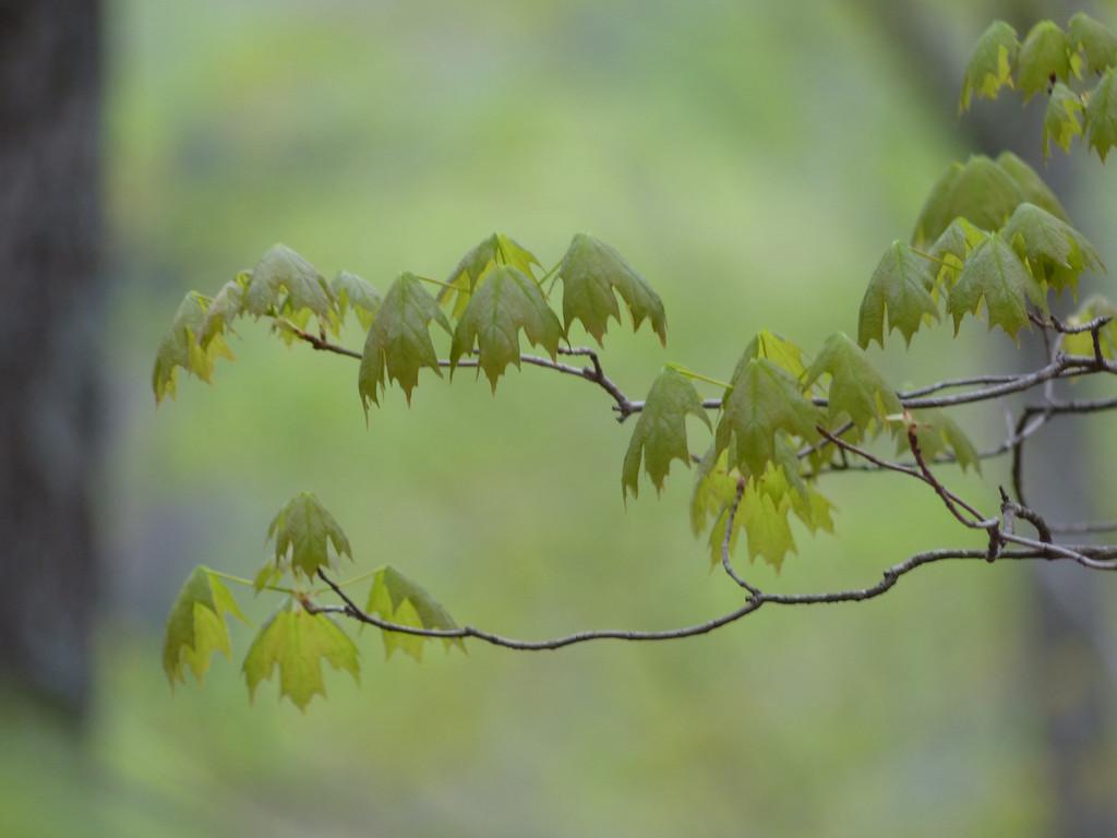 April 19 2013   Growing Veil of Green