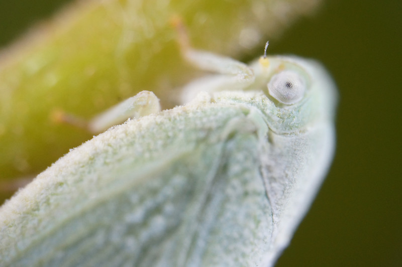 August 15 2013   Attentive Leafhopper