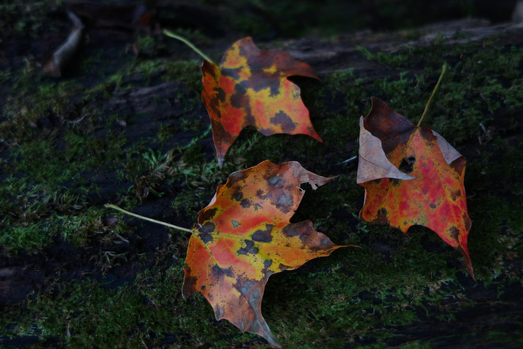 October 13 2013   Maple leaves on mossy log