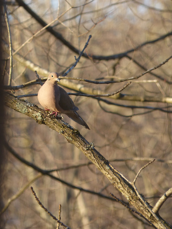 February 19 2013   Mourning dove near sunset