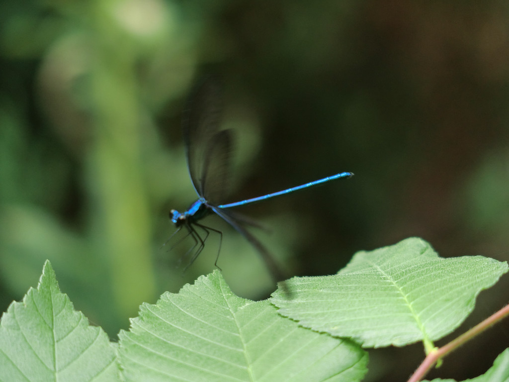August 31 2014  Dragonfly takeoff
