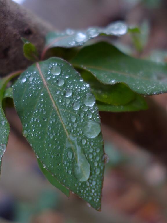 January 6 2013   Wet Leaves