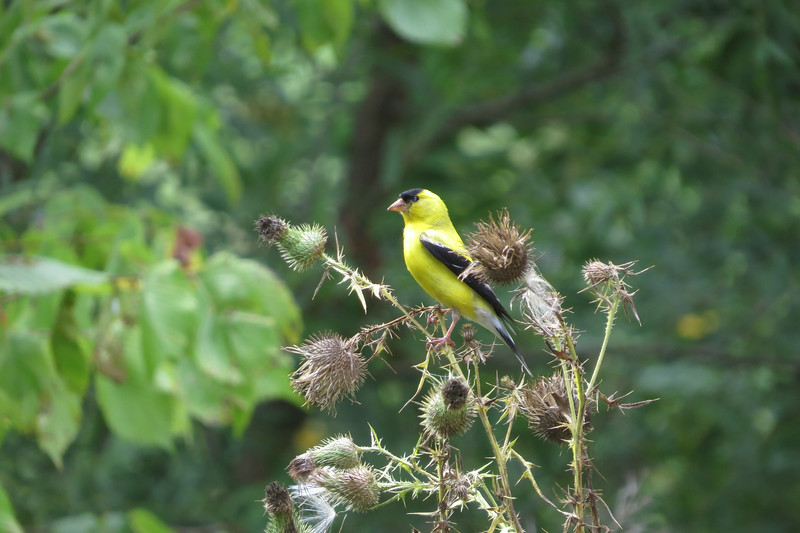 August 11 2014   Goldfinch on thistle