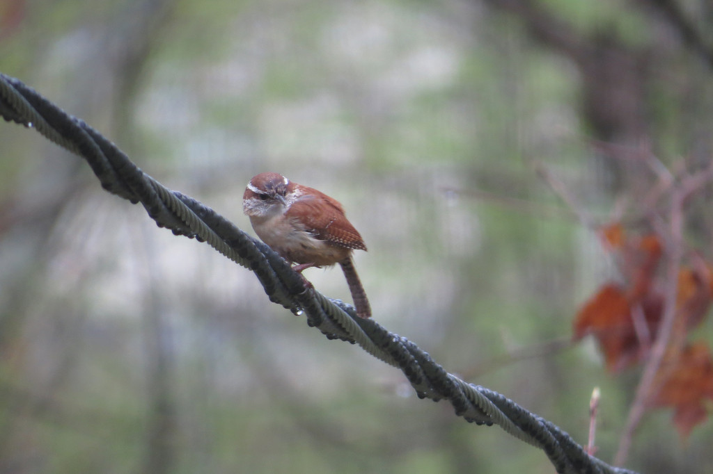 April 15 2014  Soggy Carolina wren