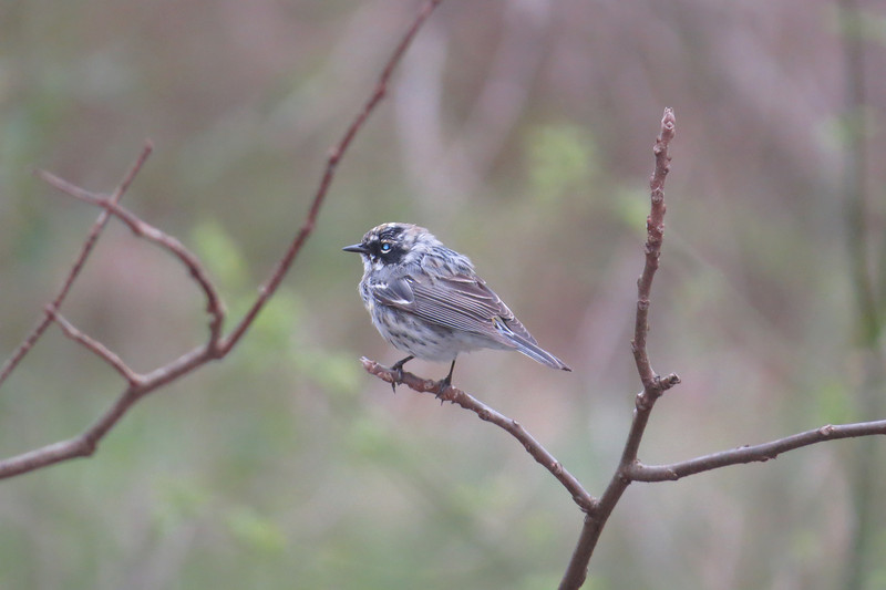 April 8 2014  Yellow-rumped warbler