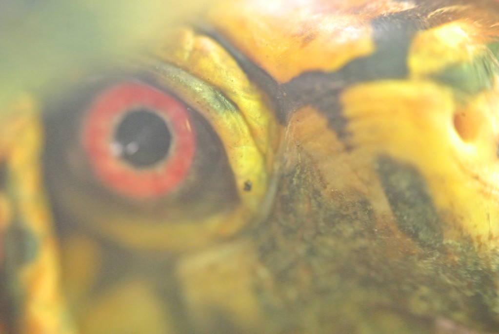 June 30 2013   Box Turtle Stare