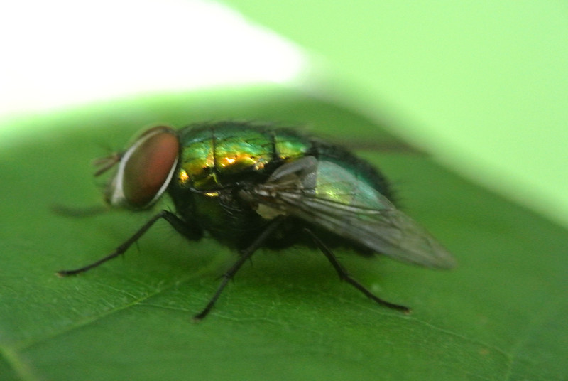 July 18 2013   Iridescent Fly