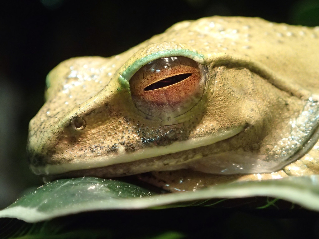 November 18 2013  White-lipped tree frog