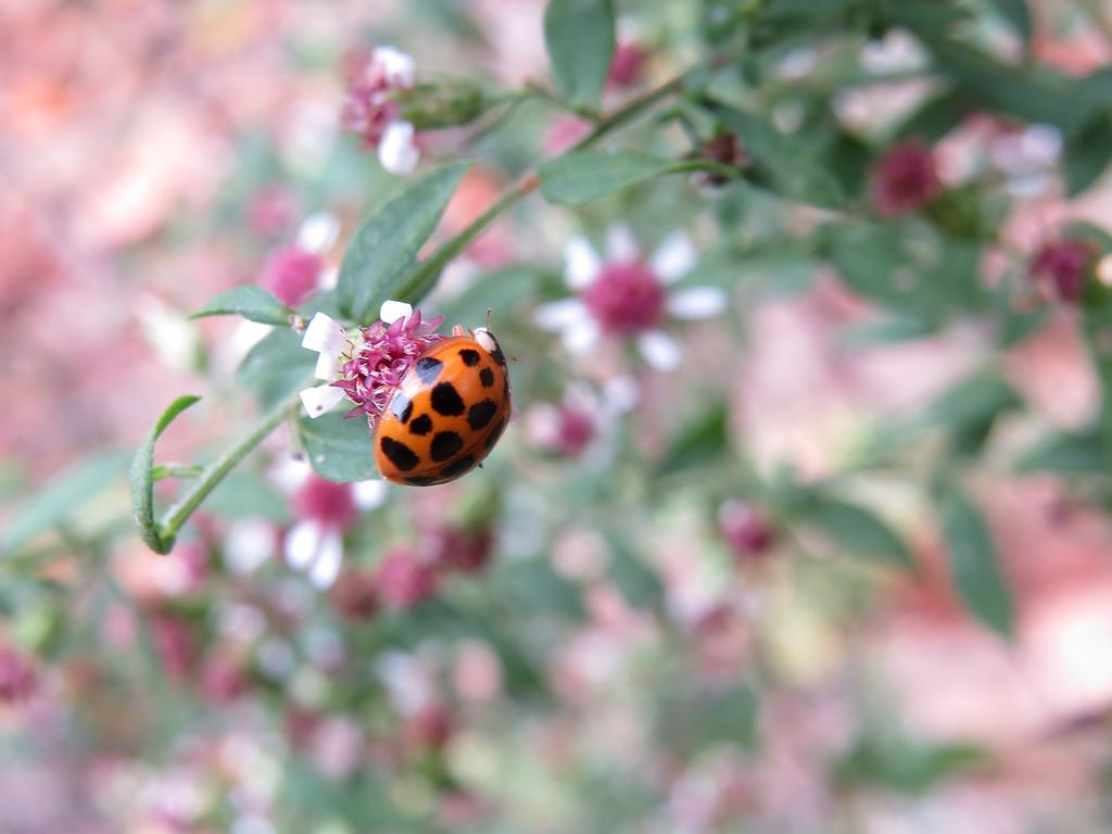 October 22 2013   Ladybug visiting Aster