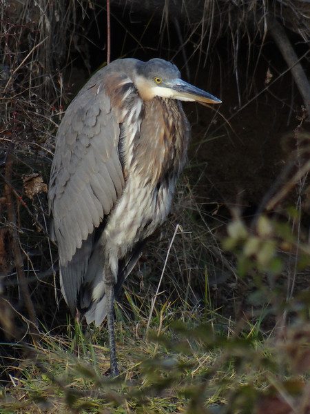 December 3 2012    Patient Blue Heron