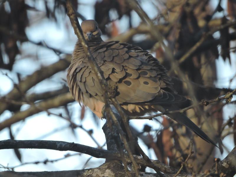February 5 2015  Inquisitive mourning dove