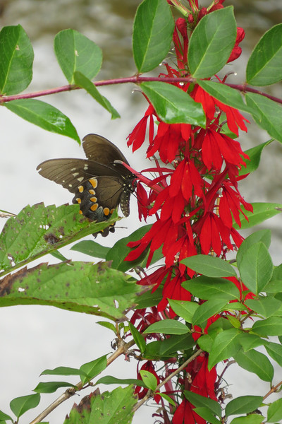 August 17 2014  Swallowtail on cardinal flower